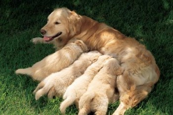camada-cachorros
