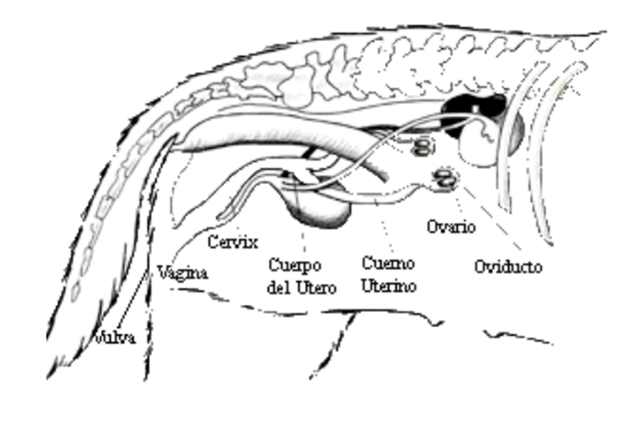 Anatomía de la Hembra | KubusCan