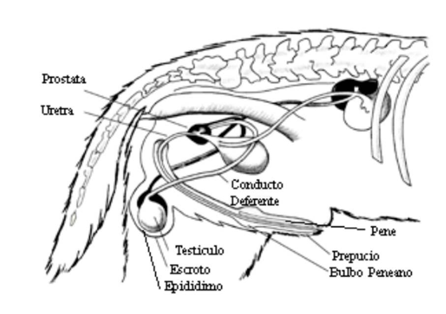 Anatomía del macho | KubusCan